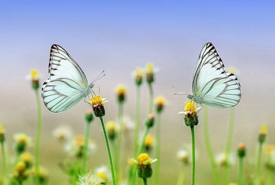 Dos mariposas frente a frente encima de varias flores
