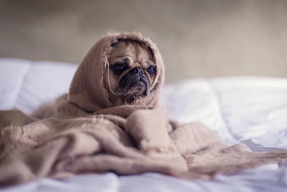 Perro de raza pug con una manta por encima parenciéndose a E.T